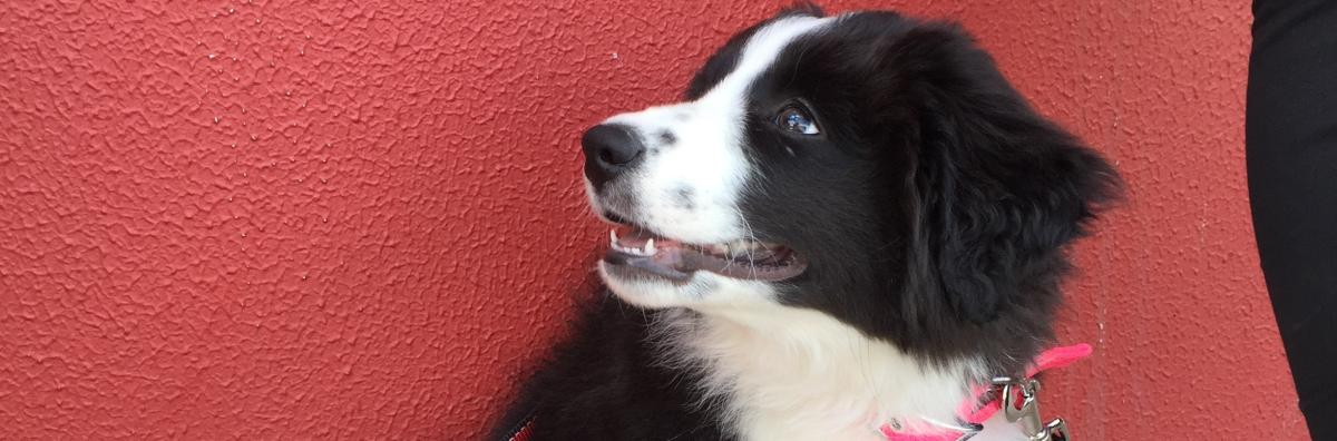 Border Collie Standing Against Red Wall