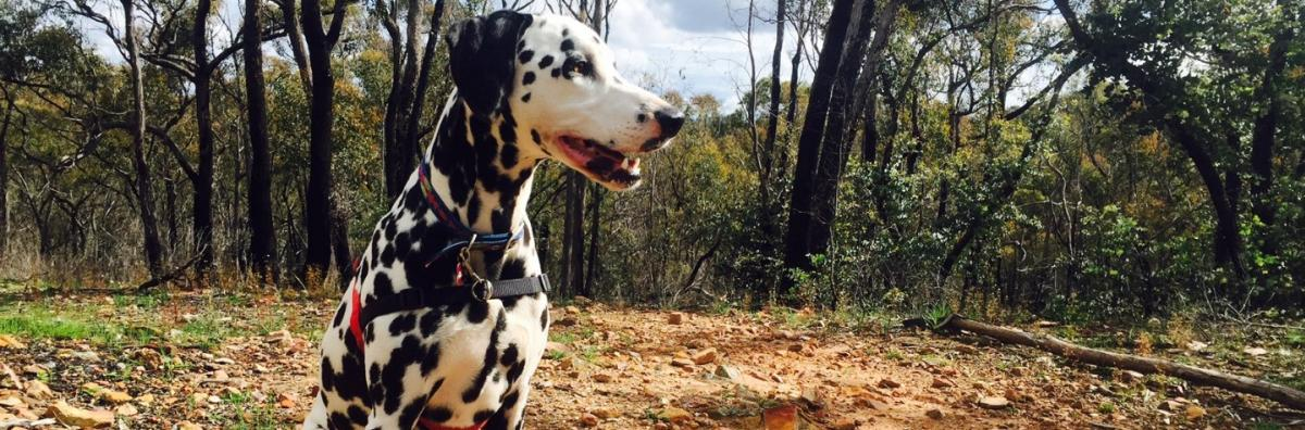 Dalmatian sitting in the bush