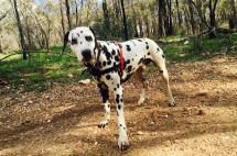 Dalmatian with harness in the bush